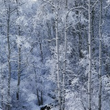 Snow on Aspen Trees in Forest
