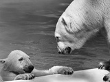 Polar Bears Looking at Each Other