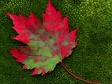 Maple Leaf Changing Color