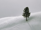 Lone Lodgepole Pine in the Snow