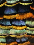 Detail of a Turkey Feather