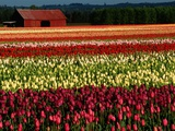 Rows of Tulips at DeGoede&#39;s Bulb Farm