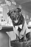 Bosco the Dog  Mayor of Sunol  California
