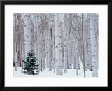 Aspen and Douglas Fir  Manti-Lasal National Forest  La Sal Mountains  Utah  USA