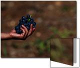 Seasonal Farm Workers Gather Grapes in a Vineyard of Skovin Winery Near the Capital Skopje