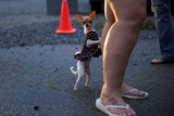 A Chihuahua Leans on Her Owner at the Remote Area Medical Clinic in Wise  Virginia