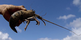 A Fisherman Holds Up a Lobster at Timang Beach in Gunung Kidul  Near the Ancient City of Yogyakarta