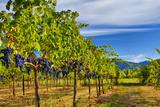 Merlot Grapes on Vine in Vineyard HDR
