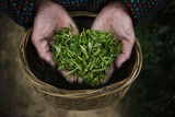 A Woman Holds Tea Leaves at a Tea Plantation in Moganshan