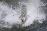 A Wrangler Rides His Horse across a River During Montana Horses' Annual Horse Drive  Three Forks
