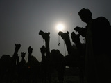 A Man Is Silhouetted Along with His Camels after They Were Brought to an Animal Market to Be Sold