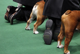 Bulldogs and Handlers are Seen in the Ring During Competition