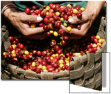 A Farmer Scoops Up Organic Coffee Beans