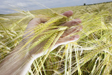 A Man Examines a Crop of Barley on a Farm in Leicestershire