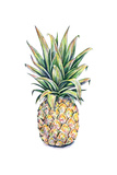 Pineapple on a White Background Watercolor Illustration