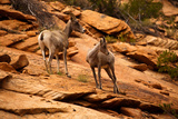 Mountain Goat in Zion National Park  Utah  USA