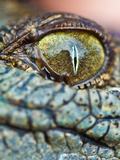 Baby Crocodile Eye