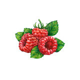 Watercolor Drawing of Forest Raspberry