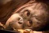 Orangutan Face Papier Photo par EvanTravels