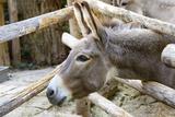 Curious Donkey Staring Profile View Papier Photo par Stefano Pellicciari