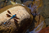 Blue Dragonfly on Rock in Woobodda Creek  Australia