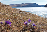 Bright Mayflower on Shore of Baikal Lake