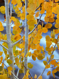 Autumn Leaves on Aspen Tree in the Sierra Nevada Range  Bishop  California  Usa