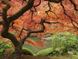 Japanese Maple  Portland Japanese Garden  Oregon  USA