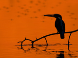 Adult Male Common Kingfisher  Alcedo Atthis  Holding a Fish at Sunset