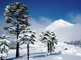Araucaria (Monkey Puzzle) Trees in Snow Below Volcan Llaima  La Aracucania Region