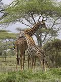 Masai Giraffe Mother and Young  Serengeti National Park  Tanzania  Africa