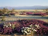 California  Anza Borrego Desert Sp  Wildflowers on a Sand Dune