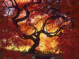 Japanese Maple  Darien  Connecticut  USA