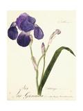 German Iris; Iris Germanica  C 1815-1851