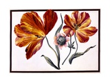 Tulips and Anenome  C1690
