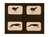 Image Sequence of Running Greyhounds  'Animal Locomotion' Series  C1881