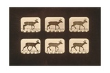 Image Sequence of a Trotting Deer  'Animal Locomotion' Series  C1881