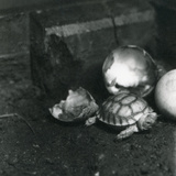 A Newly Hatched Grooved or African Spurred Tortoise at London Zoo  July 1922