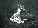 A Baby Giraffe  About 7 Hours Old  Sitting Amongst Hay at London Zoo  March 1913
