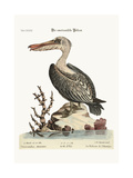 The Pelican of America  1749-73