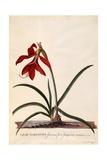 Lilio-Narcissus  Jaobean Lily  C1743