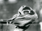 A Baby Gibbon Wrapped in a Blanket and Held in One Hand at London Zoo  June 1922
