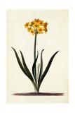 Narcissus  C1745