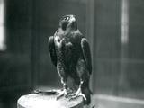 A Peregrine Falcon at London Zoo  January 1922