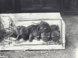 Jackal Pups in a Box  1915