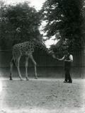 Giraffe 'Maud' Feeding from Keeper's Hand  London Zoo June 1953