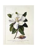 Magnolia Grandiflora  C1743