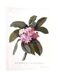 Plumeria  C1744