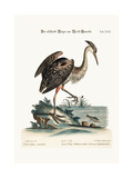 The Ash-Coloured Heron from North-America  1749-73