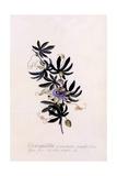 Passiflora Granadilla  C1745